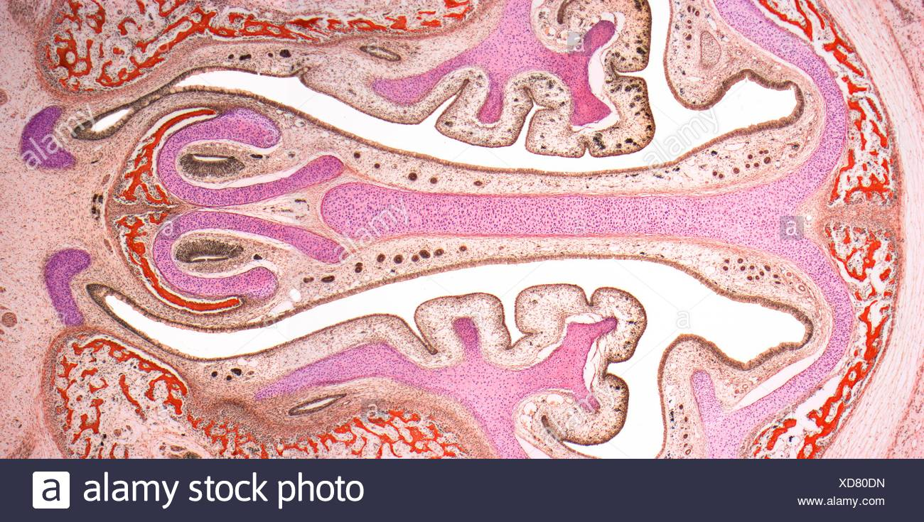 Nasal sinuses. Light micrograph (LM) of the nasal sinuses ( lined by brown epithelium ) and the supporting cartilages (pink). Bone tissue is identified by the red bone marrow. Magnification: x4 when printed at 10 centimetres wide. - Stock Image