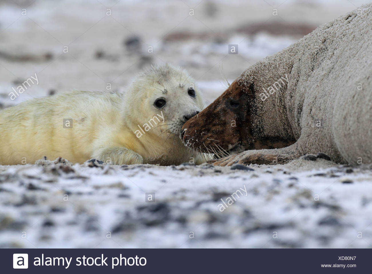 gray seal with pup Stock Photo