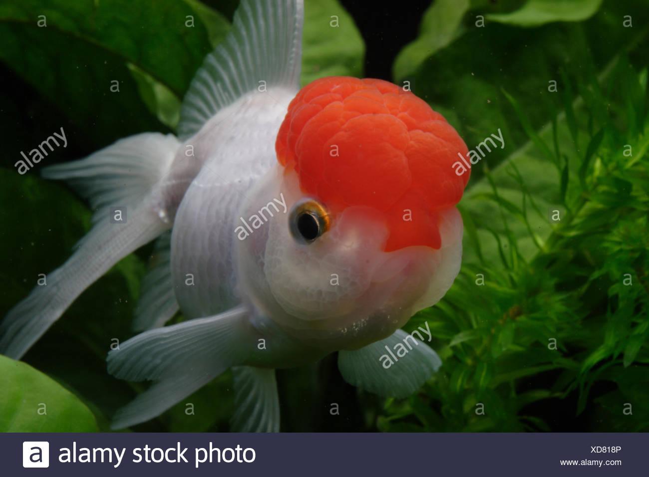 Red cap Oranda Goldfish Stock Photo: 283533062 - Alamy