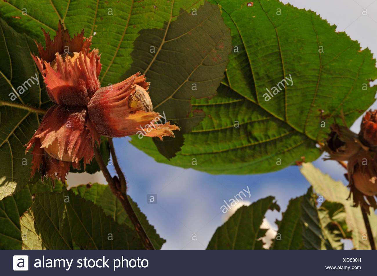 Giant hazel (Corylus maxima 'Purpurea', Corylus maxima Purpurea), branch with fruits - Stock Image