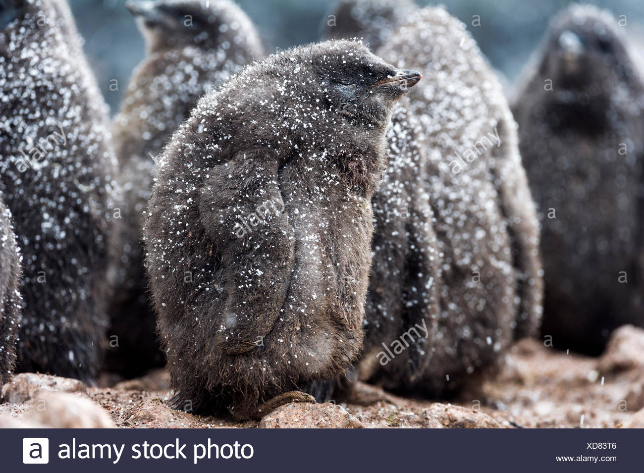 A creche of fluffy Adelie Penguin chicks covered in a dusting of snow on a beach in Antarctica. - Stock Image