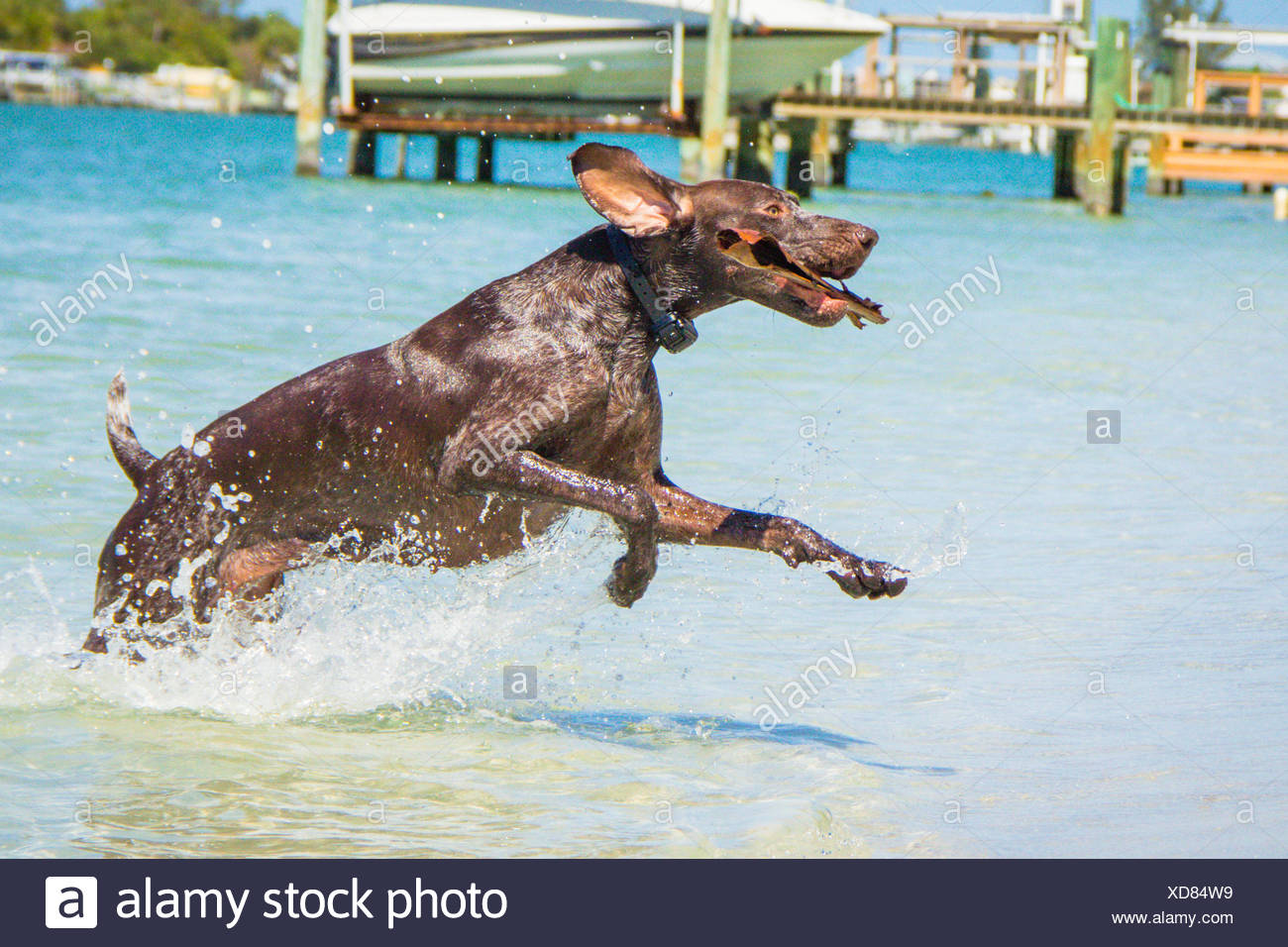 German Shorthaired Pointer Dog Stock Photos & German Shorthaired ...