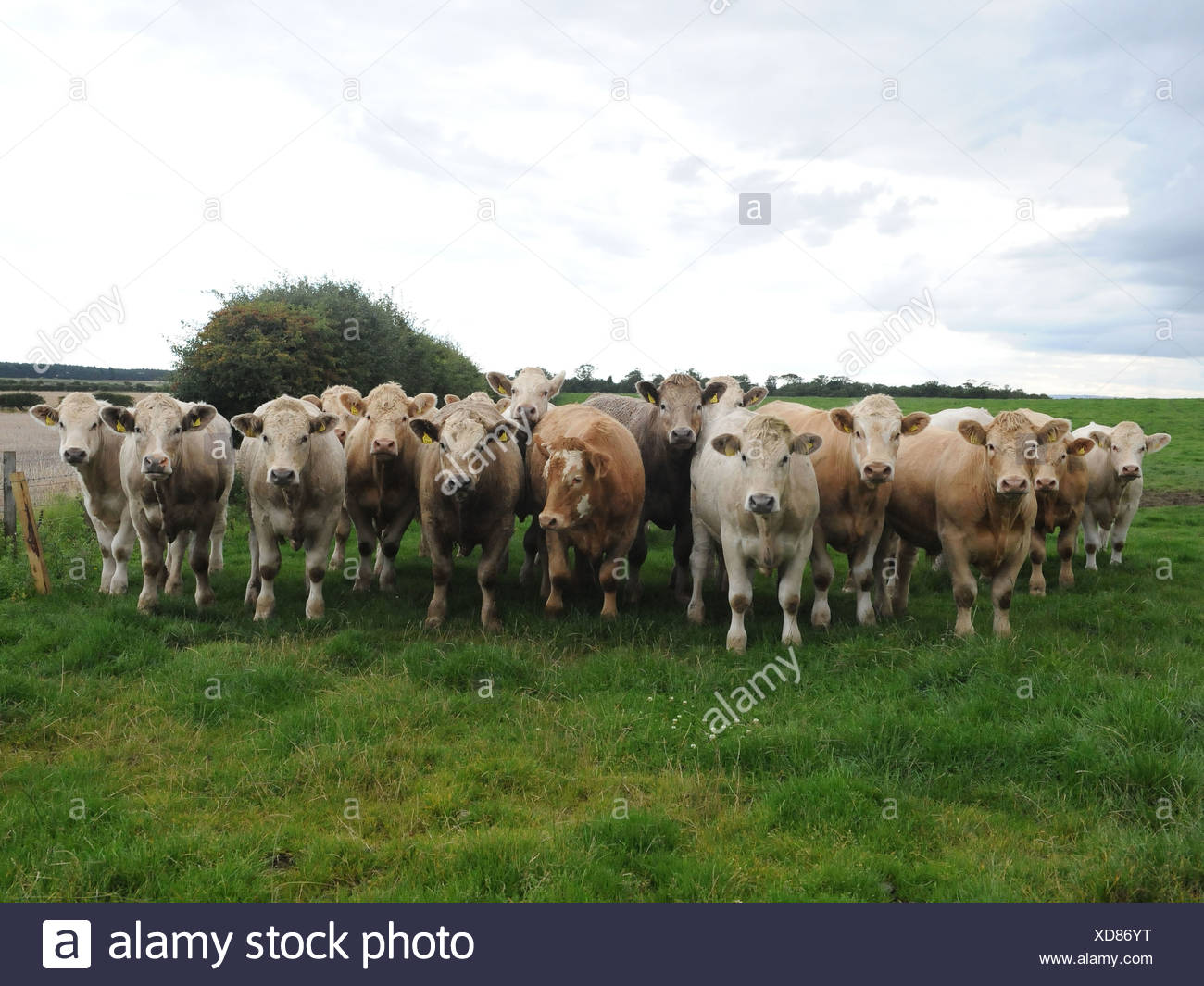 A row of cows all in a line - Stock Image