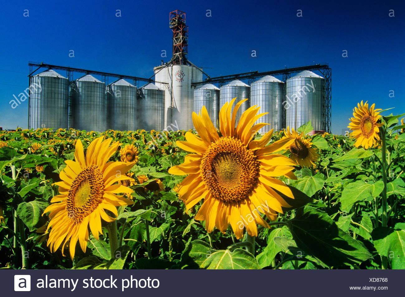 Sunflower (Helianthus annuus) field and inland grain terminal near Winnipeg, Manitoba, Canada - Stock Image