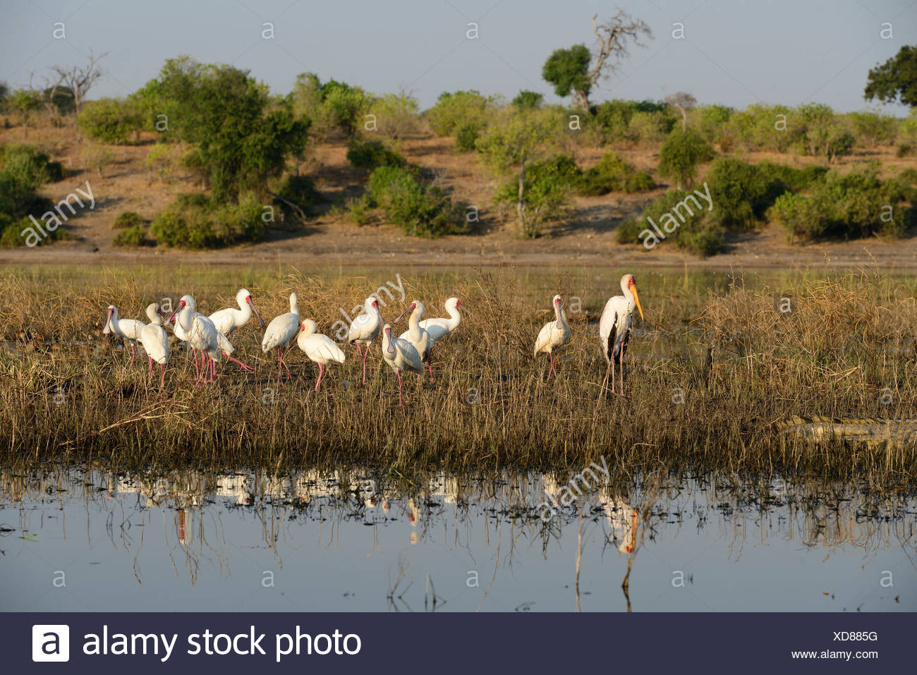 Africa, Botswana, Chobe, National Park, Yellow-billed Stork, wildlife, bird, Mycteria ibis, stork, Stock Photo