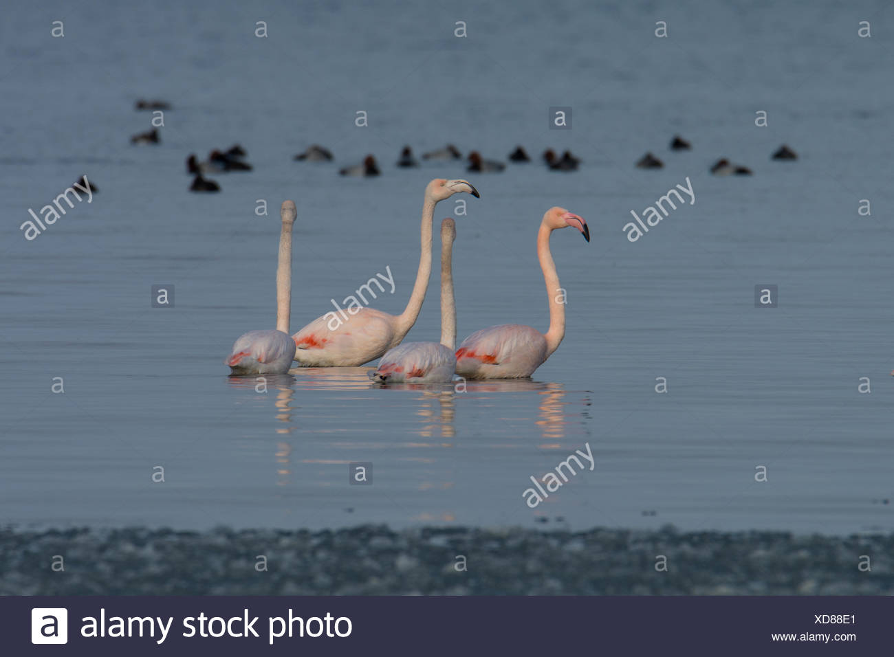 Switzerland, Thurgau, Lake Bodensee, avian, tetrapod vertebrates, flamingos, phoenicopteriformes, winter - Stock Image