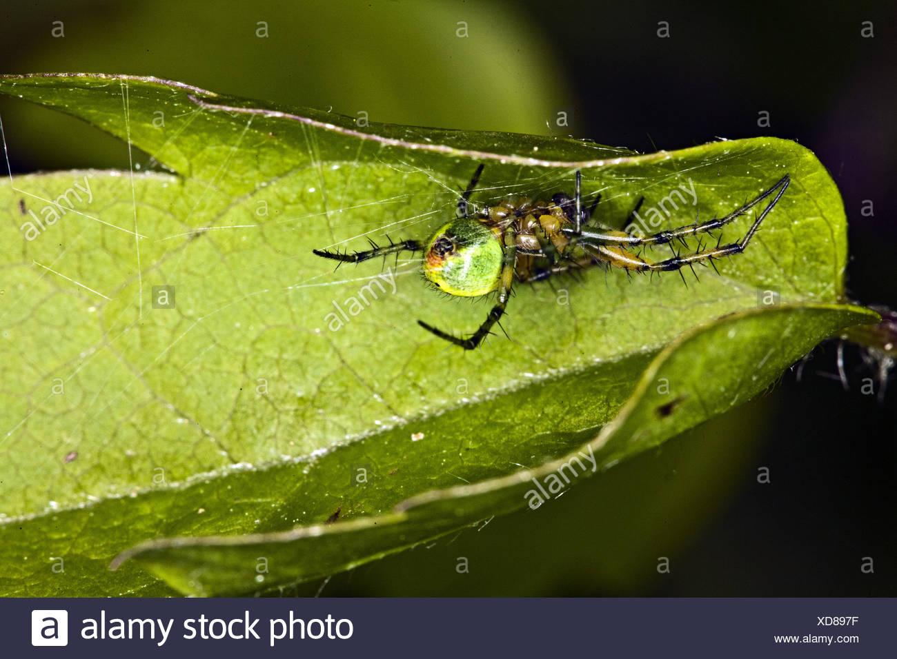 Cucumber Green Spider, Araniella curcubitina - Stock Image