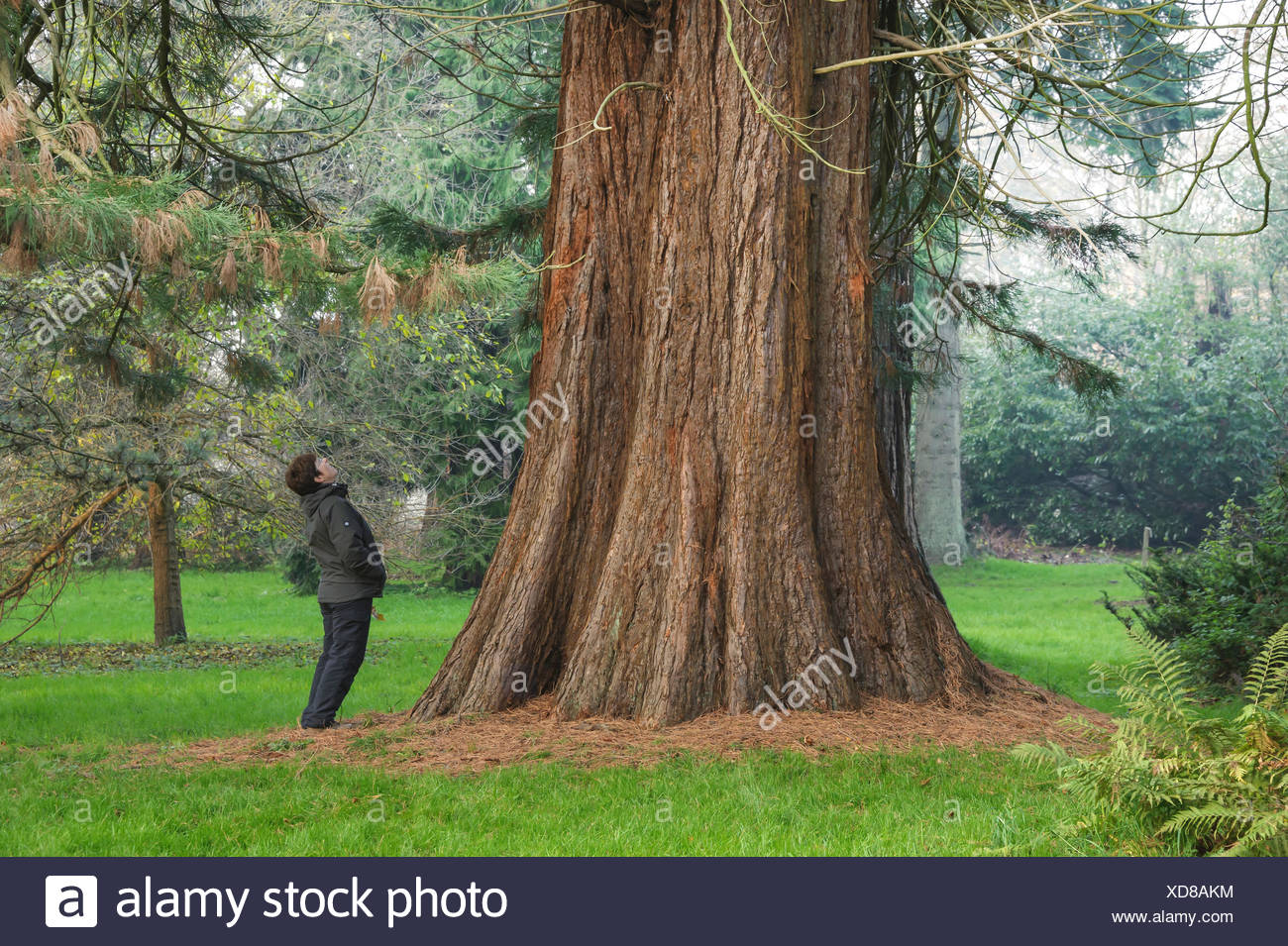 giant sequoia, giant redwood (Sequoiadendron giganteum), woman looking up a tree trunk, Germany, Mecklenburg-Western Pomerania - Stock Image