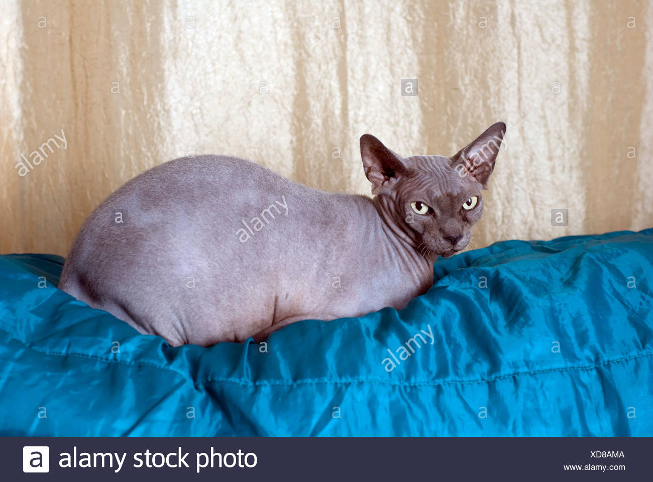 Sphynx cat also known as Canadian Hairless is a rare breed of cat known for its lack of a coat Property Release available - Stock Image