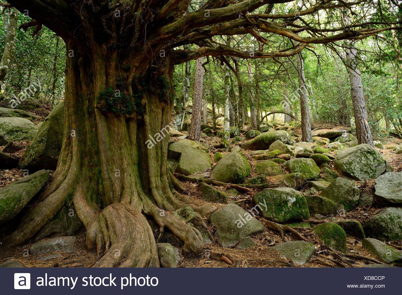 Old Yew (Taxus baccata) near Canencia mountain pass, Madrid province, Spain - Stock Image
