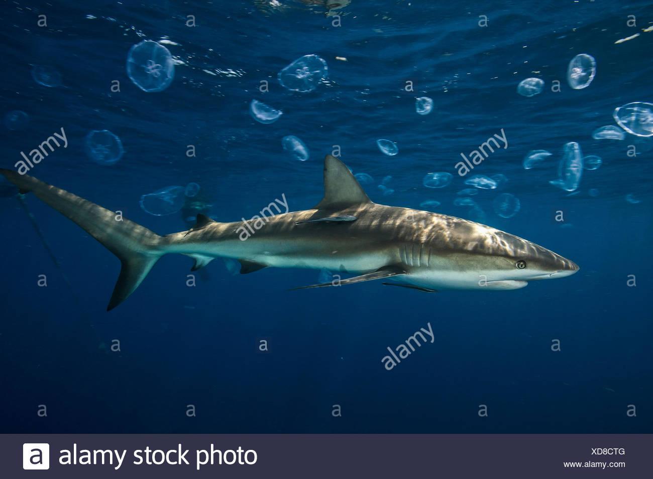 Caribbean Reef Shark Stock Photos & Caribbean Reef Shark
