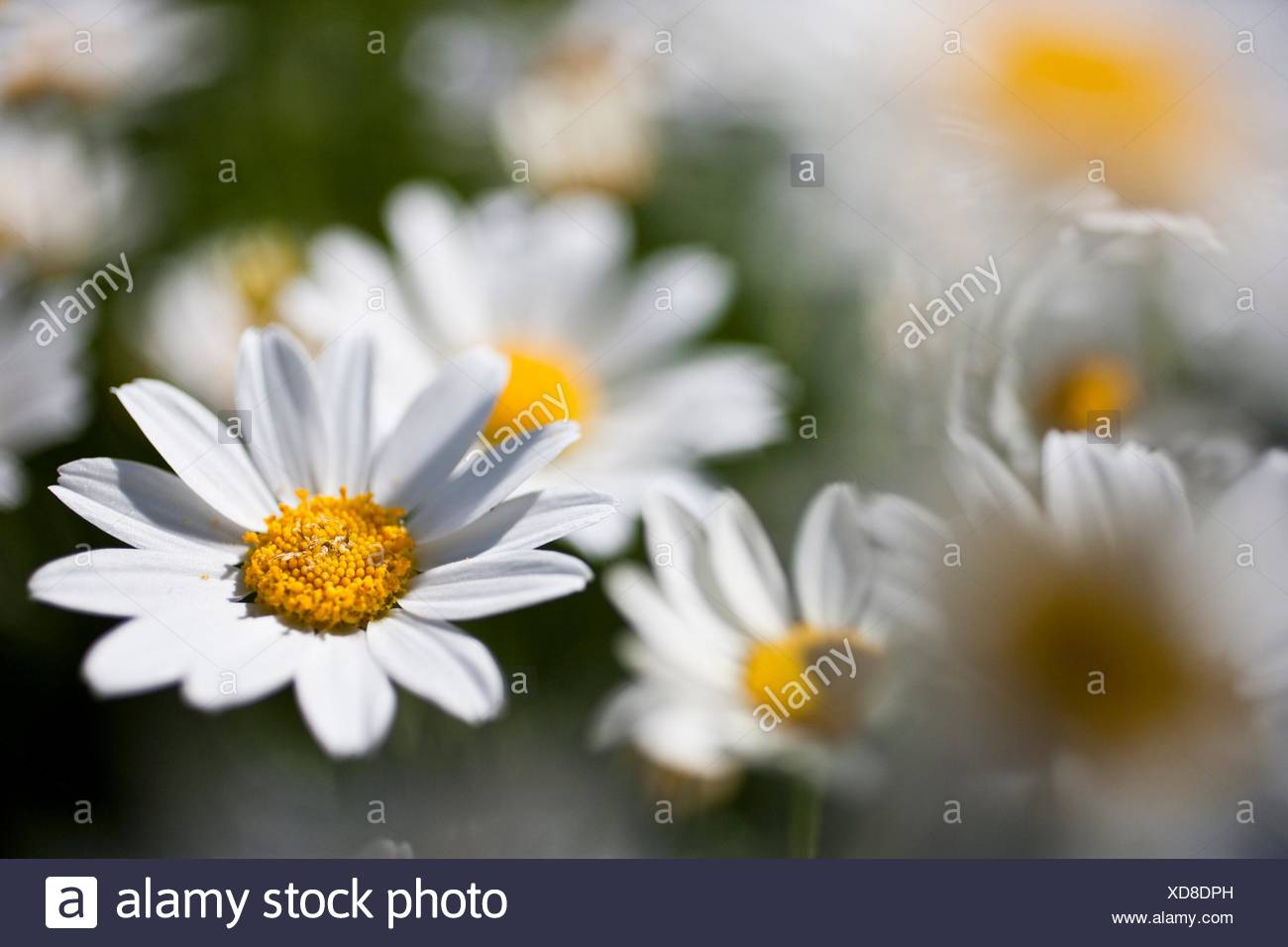Garden with Anthemis maritima - Stock Image