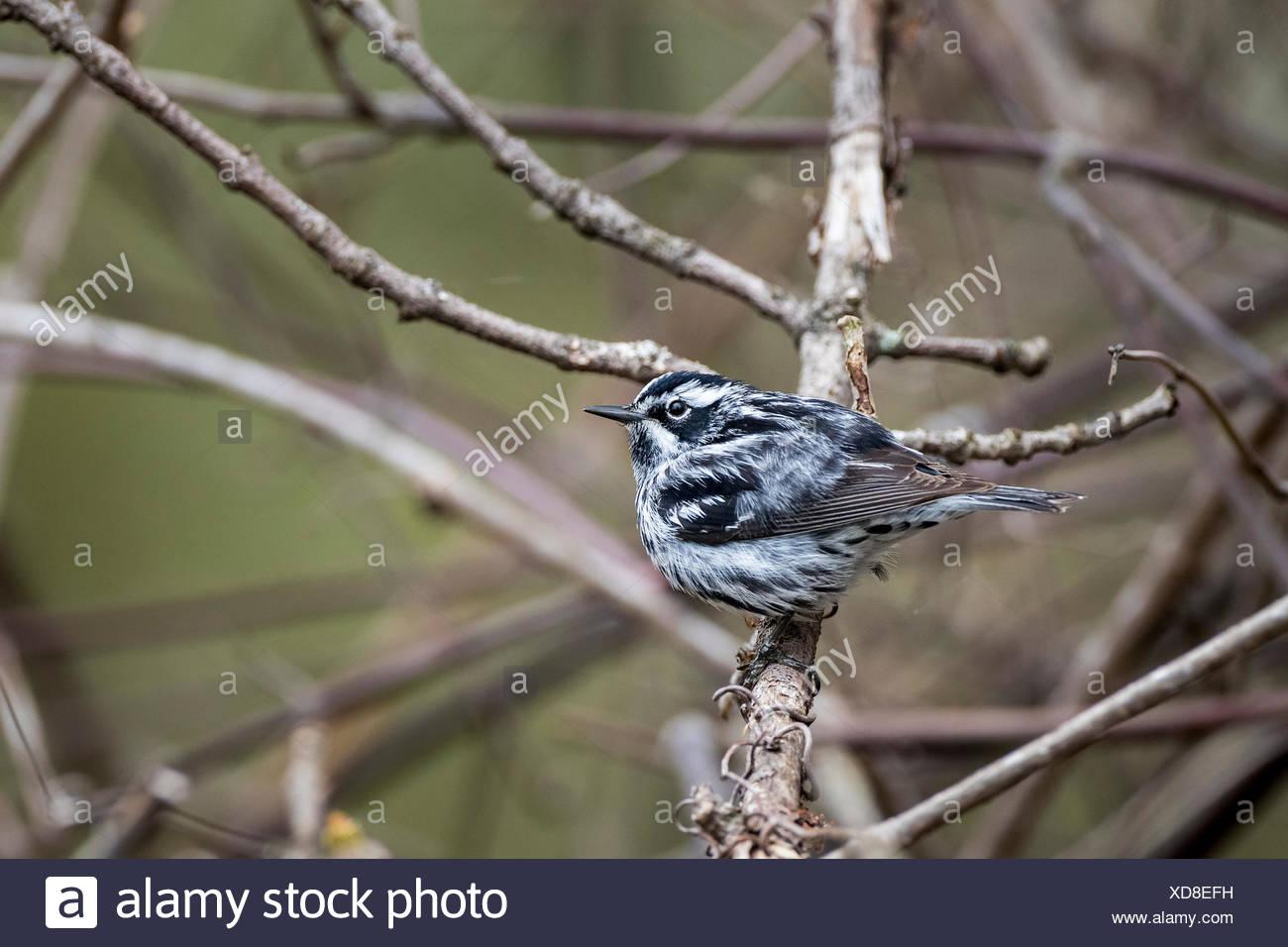 Male Black-and-white Warbler (Mniotilta varia), Prince Edward Point National Wildlife Area, Ontario, Canada Stock Photo
