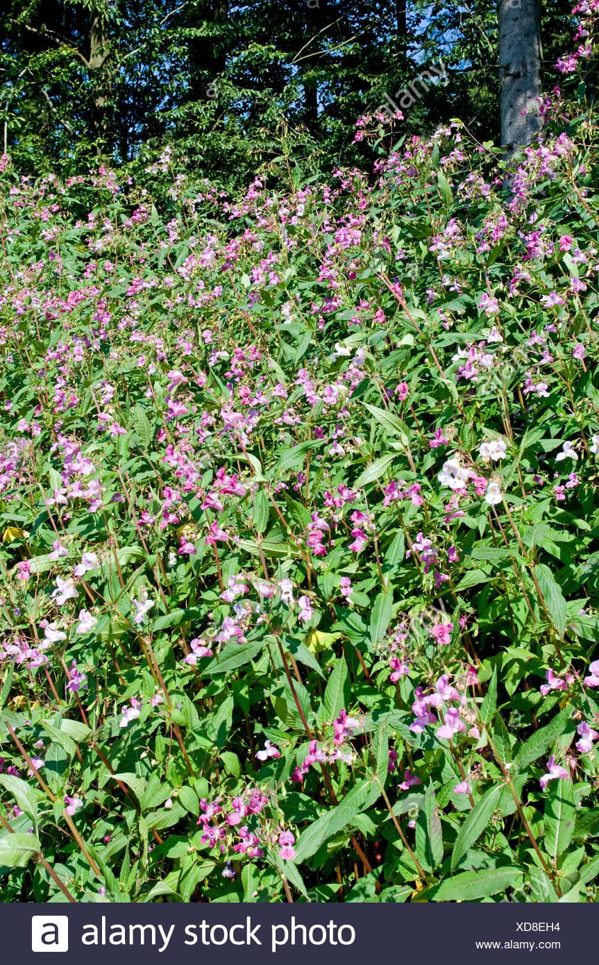 Himalayan Balsam Stock Photo