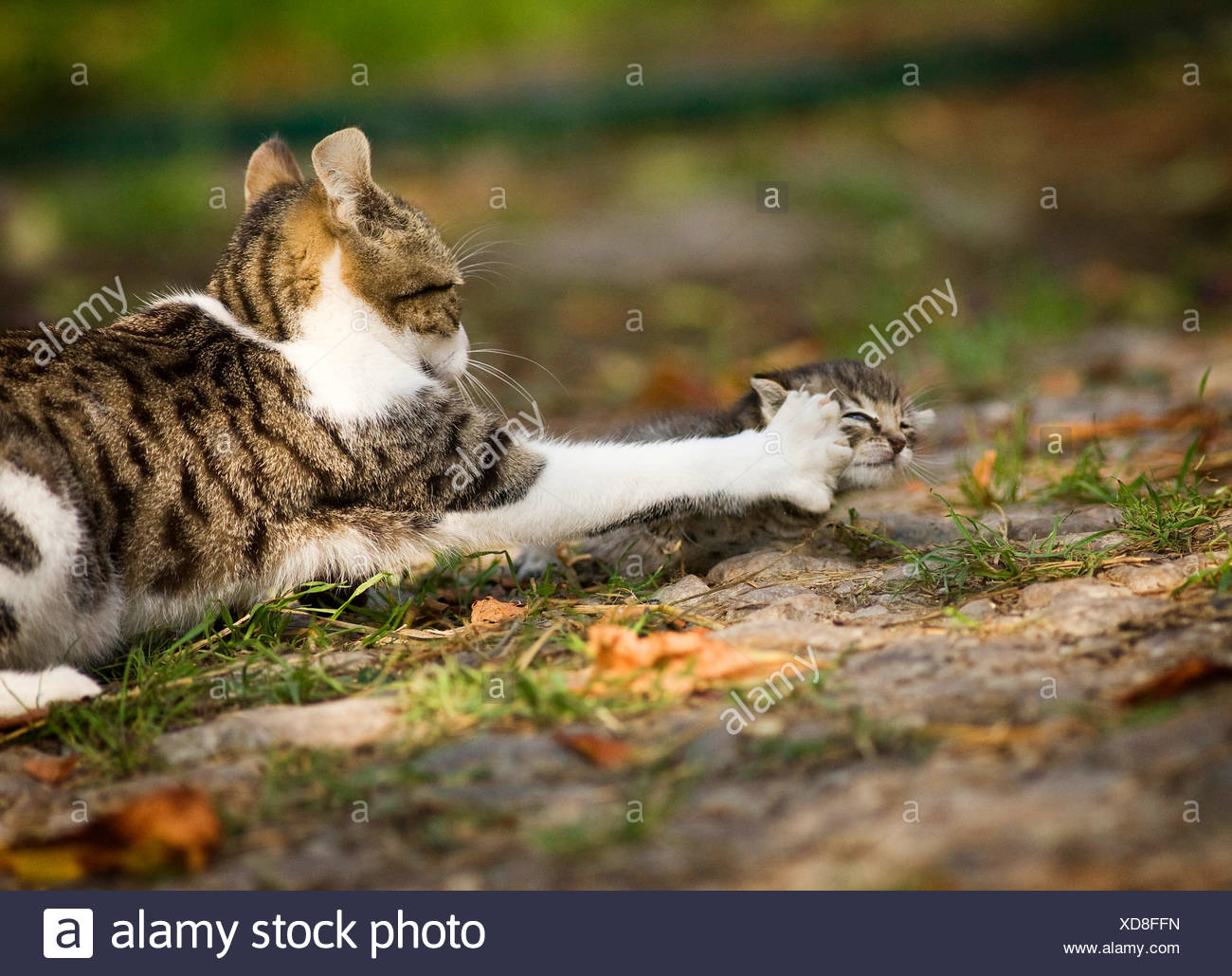 domestic cat, house cat (Felis silvestris f. catus), hitting a strange kitten, Germany - Stock Image