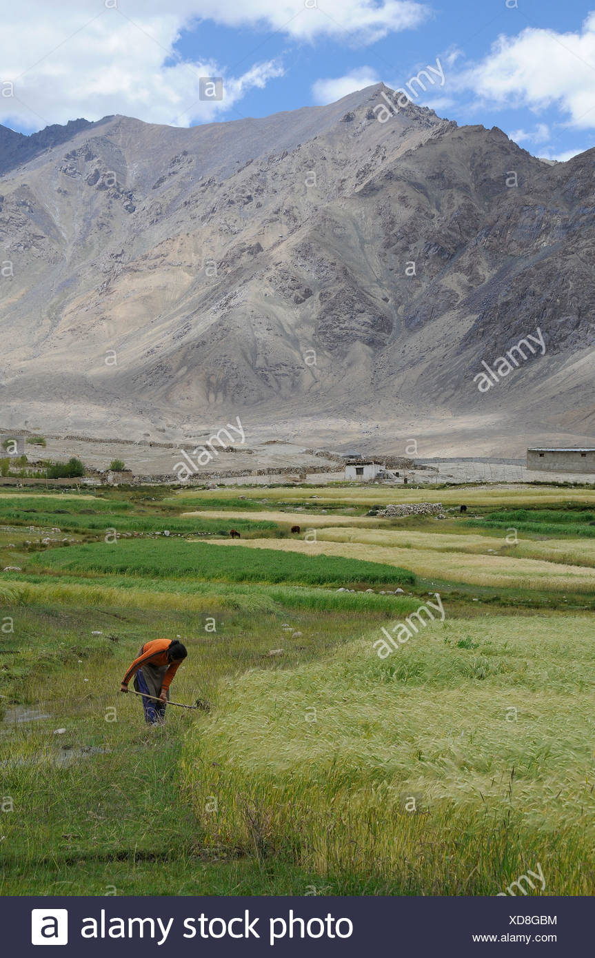 Ladakhi woman controlling the watering of a barley field, about 4000 AMSL, oasis economy in mountainous desert, Nubra Valley, L - Stock Image