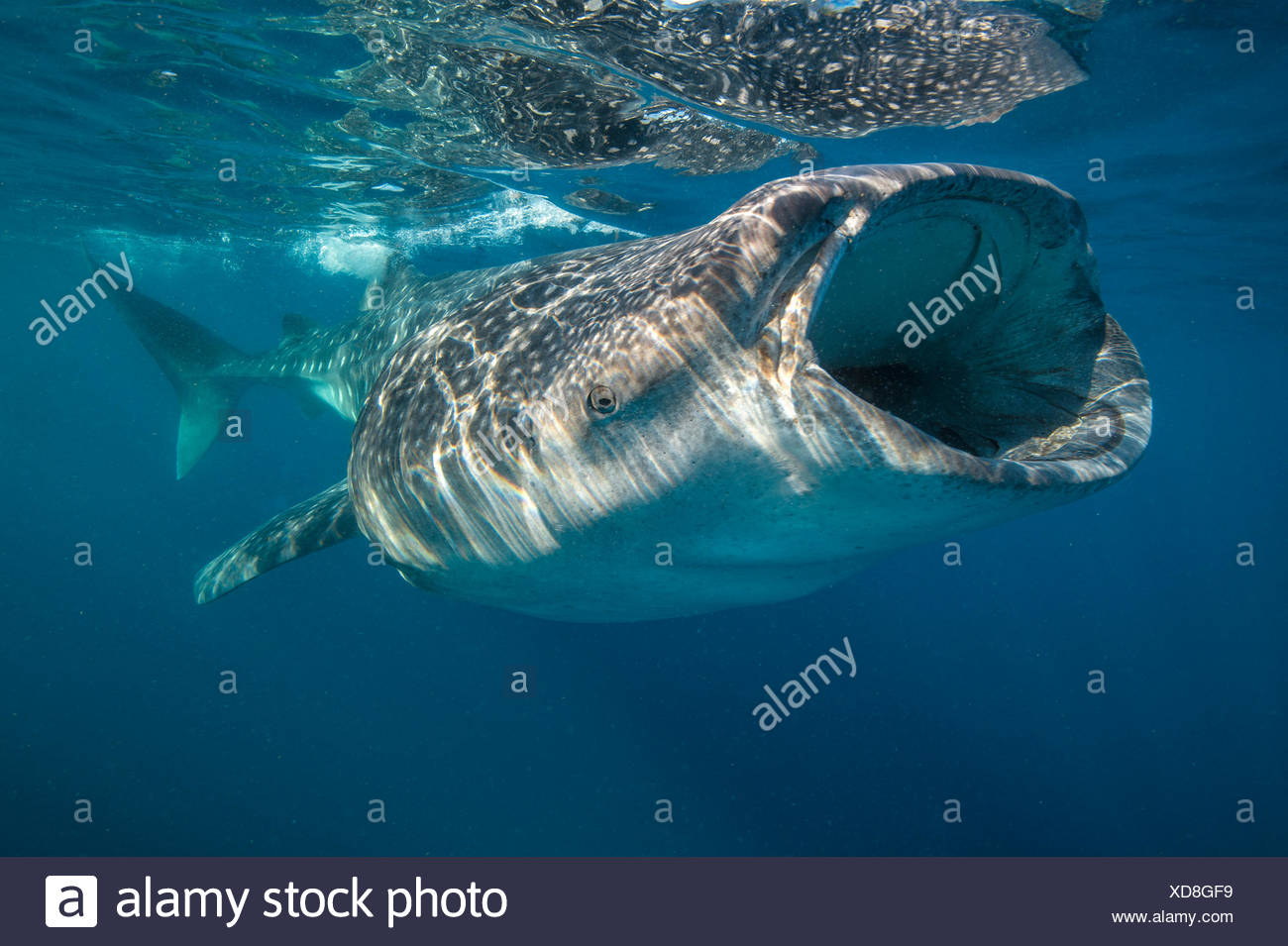 Whale shark (Rhincodon typus) mouth open filter feeding at the surface, Quintana Roo, Yucatan Peninsular, Mexico, Caribbean Sea. - Stock Image