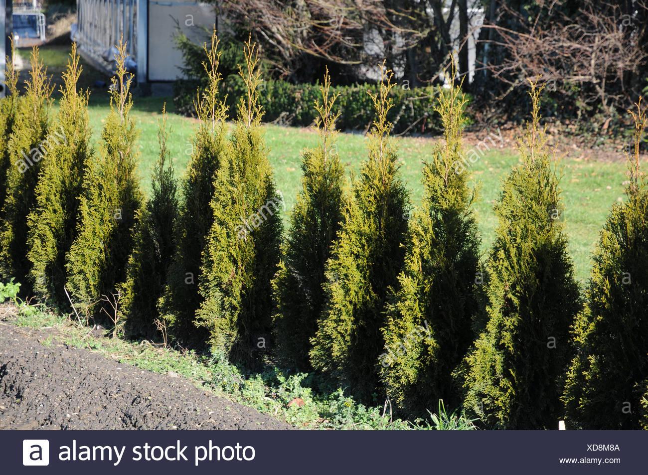 Thuja occidentalis Smaragd, hedge - Stock Image