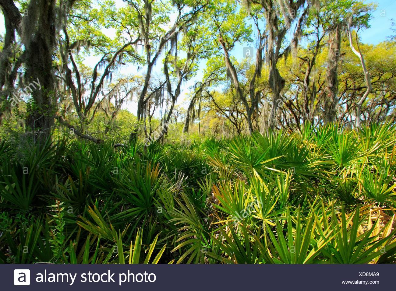 Scrub Palmetto and pine ecosystem. Florida, USA - Stock Image