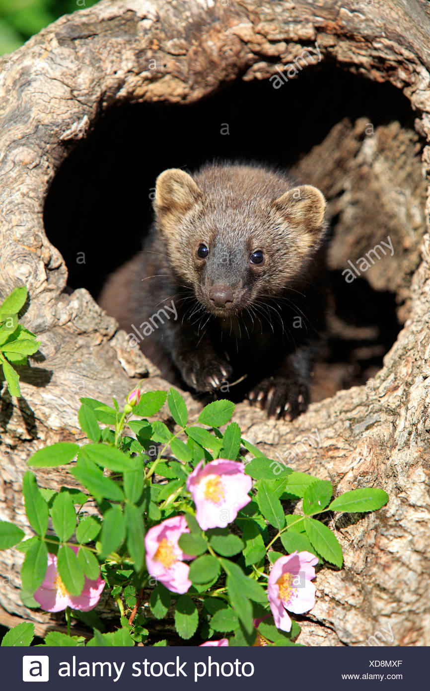 Pacific Fisher, young, 14 weeks, at den / (Martes pennanti) - Stock Image