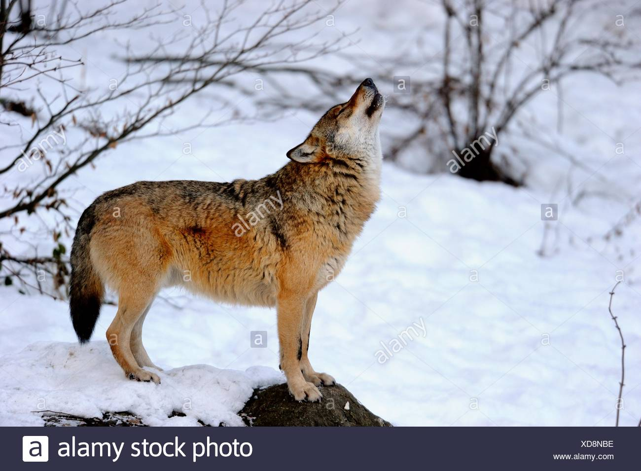 Howling Wolf Stock Photos & Howling Wolf Stock Images - Alamy