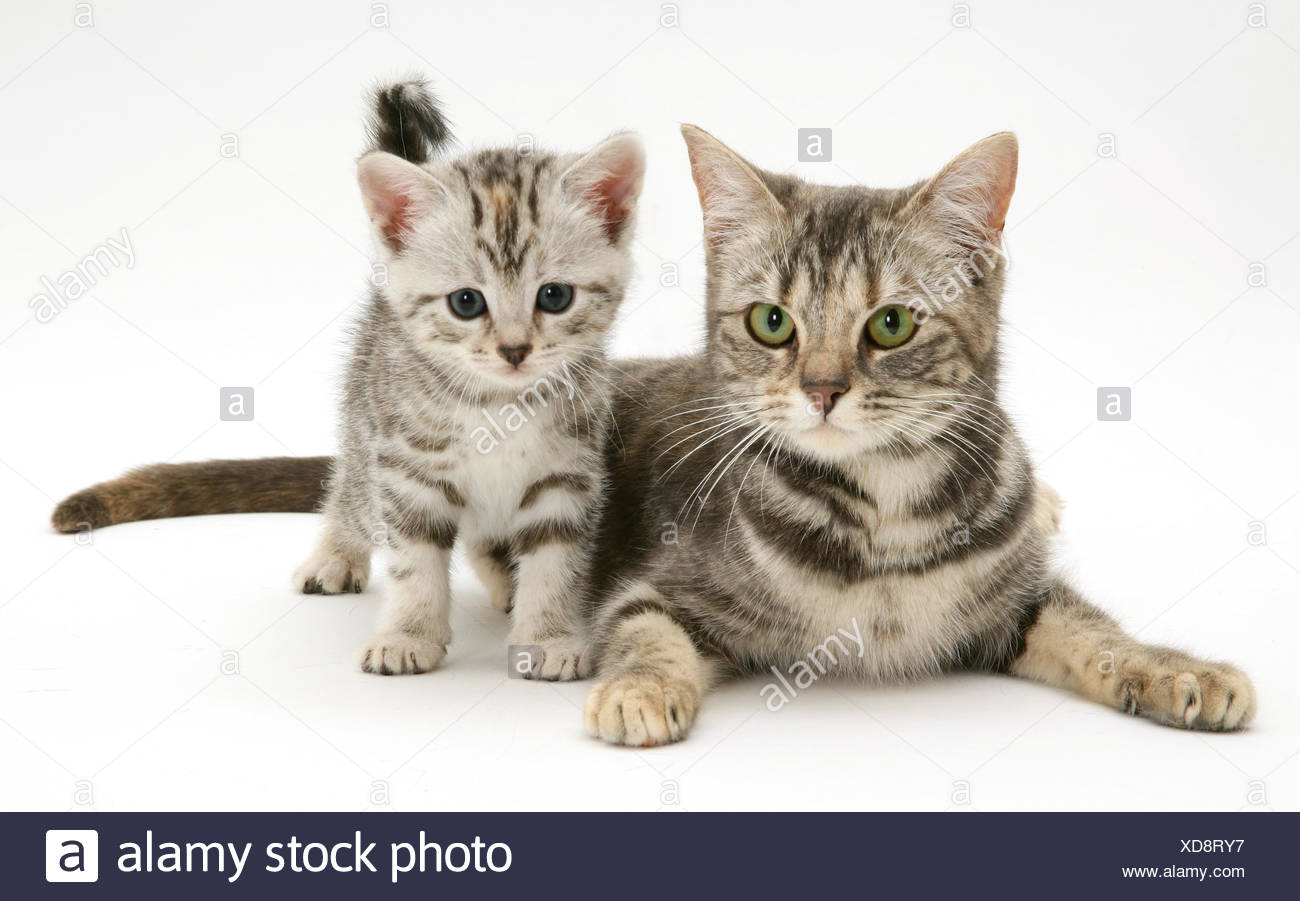 silver tabby cat with kitten stock photo 283550827 alamy