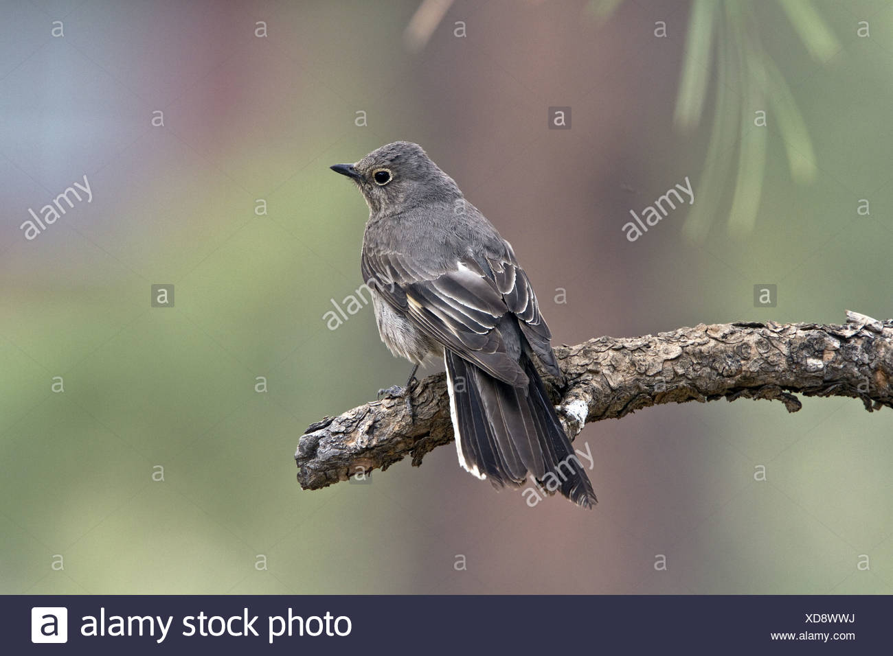 Adult Townsend's Solitaire - Utah America - Stock Image