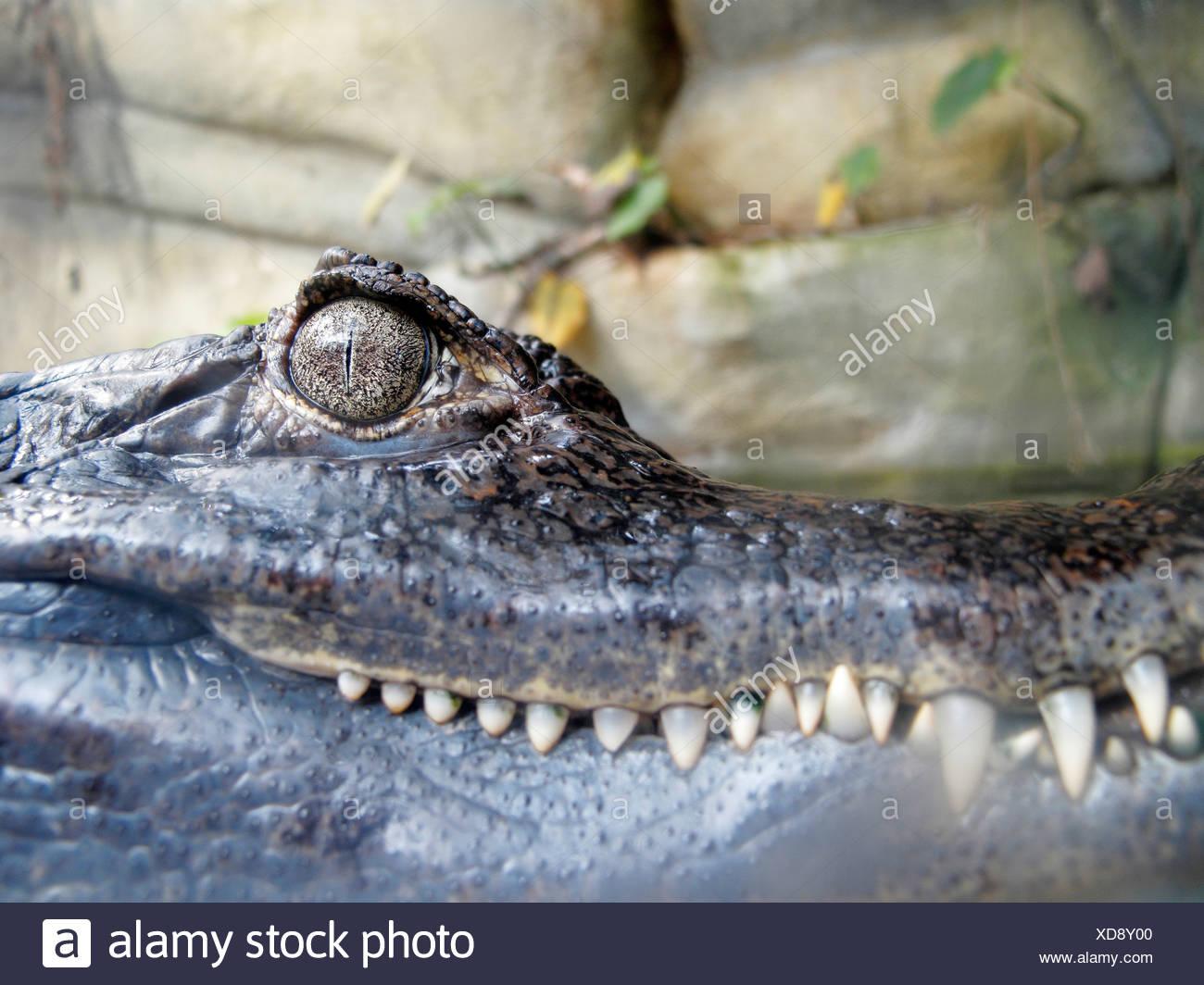 Spectacled Caiman (Caïman Crocodilus) - Stock Image