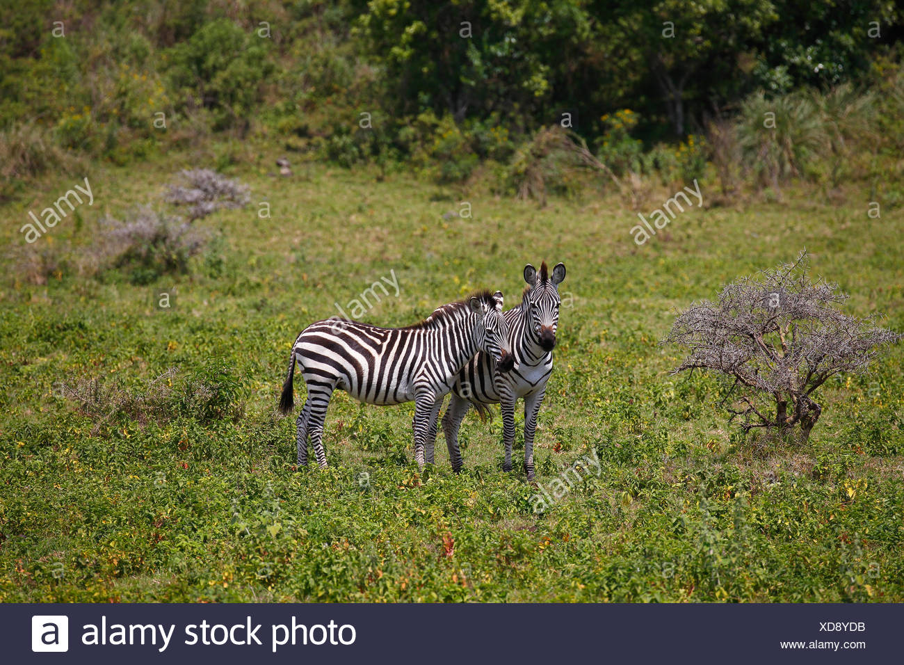 Two zebras (Equus quagga) among the bush, Arusha National Park, Tanzania - Stock Image