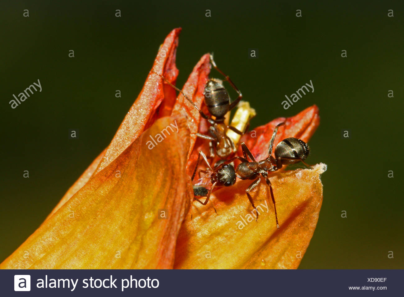 Ant on fire lily - Stock Image