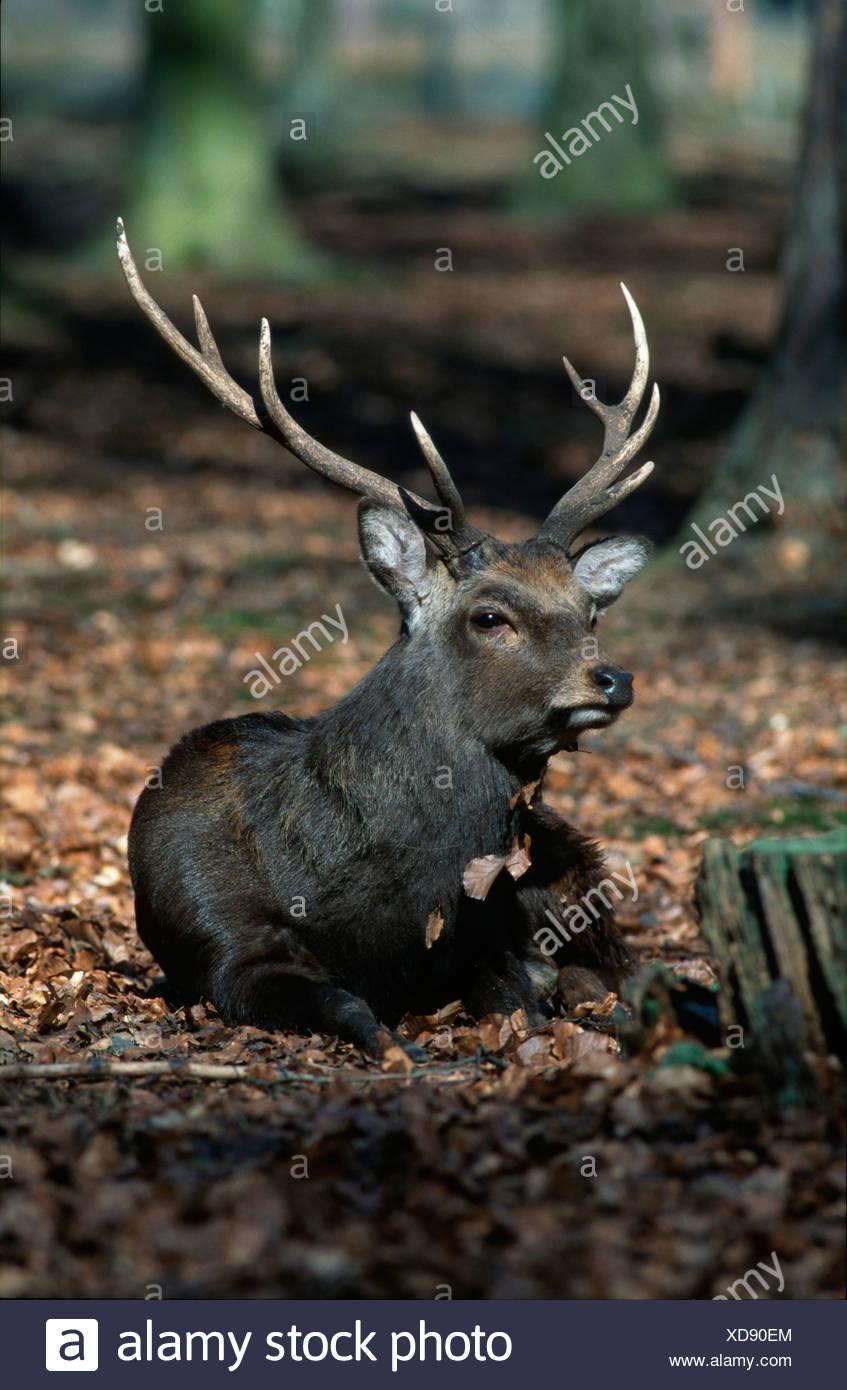 Sika Deer / Sika-Hirsch - Stock Image