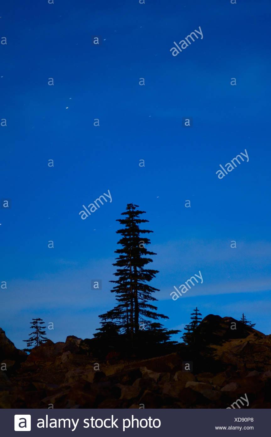 Lone pine tree silhouette with starry sky - Stock Image