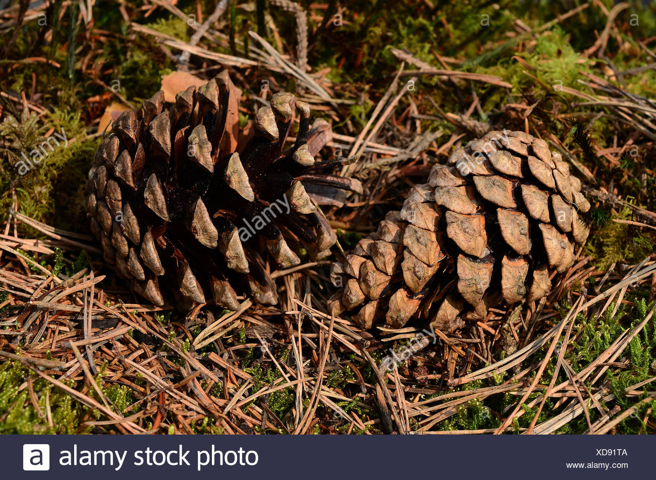 pine, pinewood, conifer, seed, cones - Stock Image