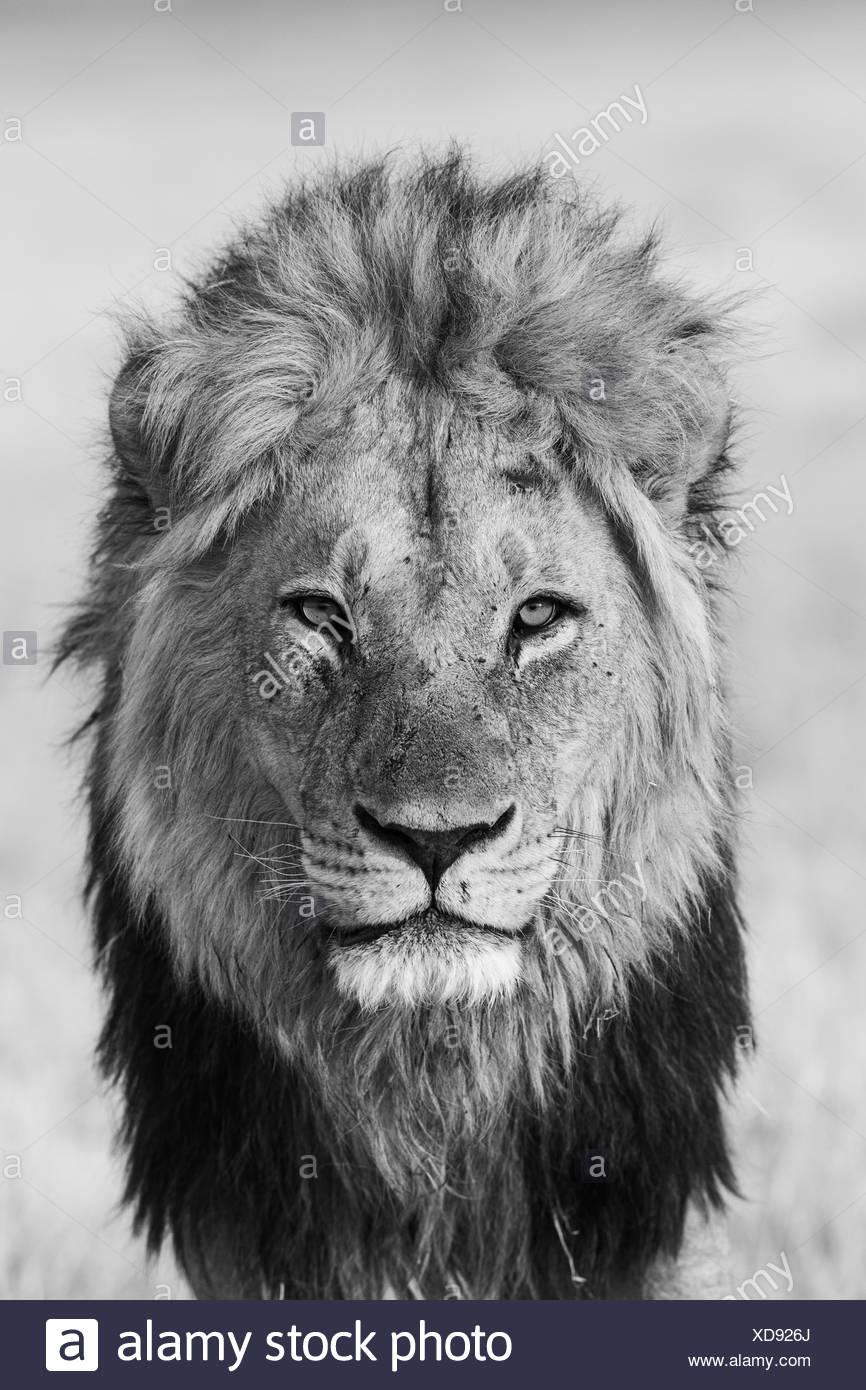 Lion (Panthera leo), male, Savuti, Chobe National Park, Botswana - Stock Image