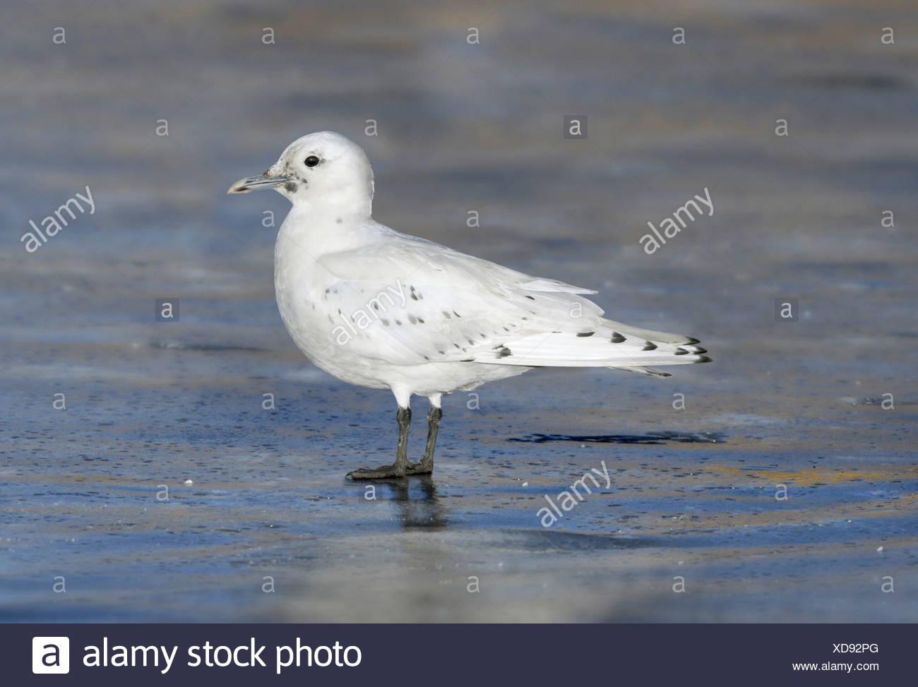 Ivory Gull - Pagophila eburnea - 1st winter - Stock Image