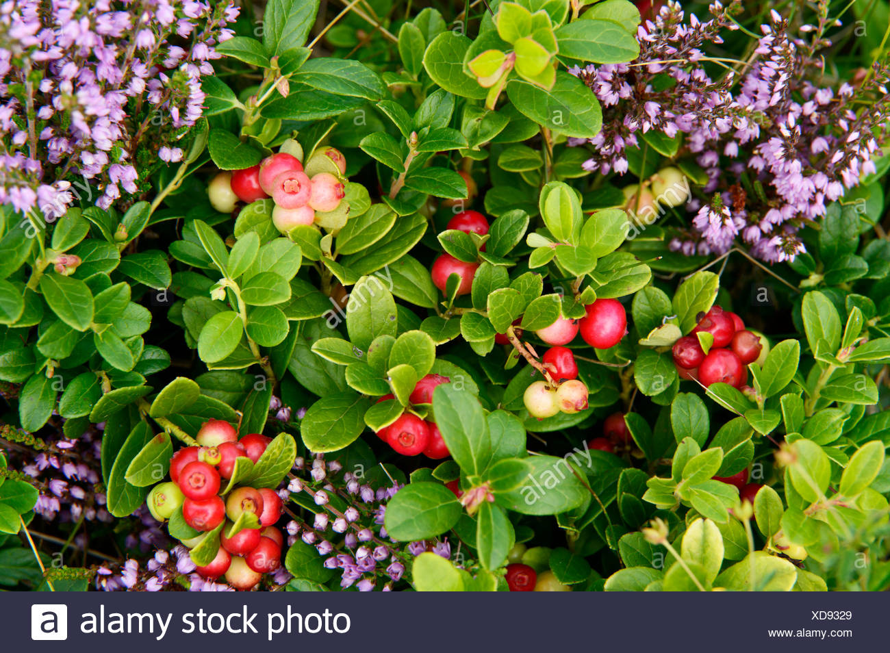 cowberry, foxberry, lingonberry, mountain cranberry (Vaccinium vitis-idaea), fruiting among blooming heath, Germany, North Rhine-Westphalia, Hochheide Niedersfeld - Stock Image