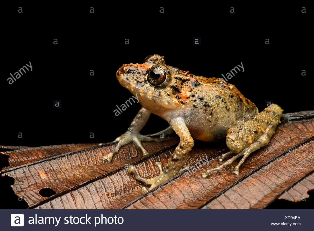 Executioner Clownfrog (Dendropsophus carnifex), tree frog family (Hylidae), fog rainforest, Mindo valley, Andes, Ecuador - Stock Image