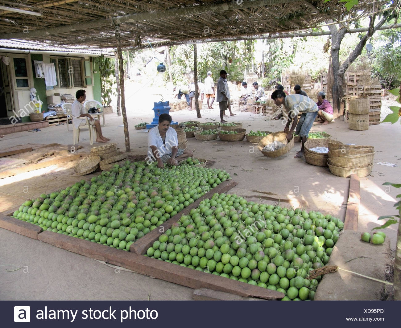 Workers are making categorization of the Mangoes for packing - Stock Image