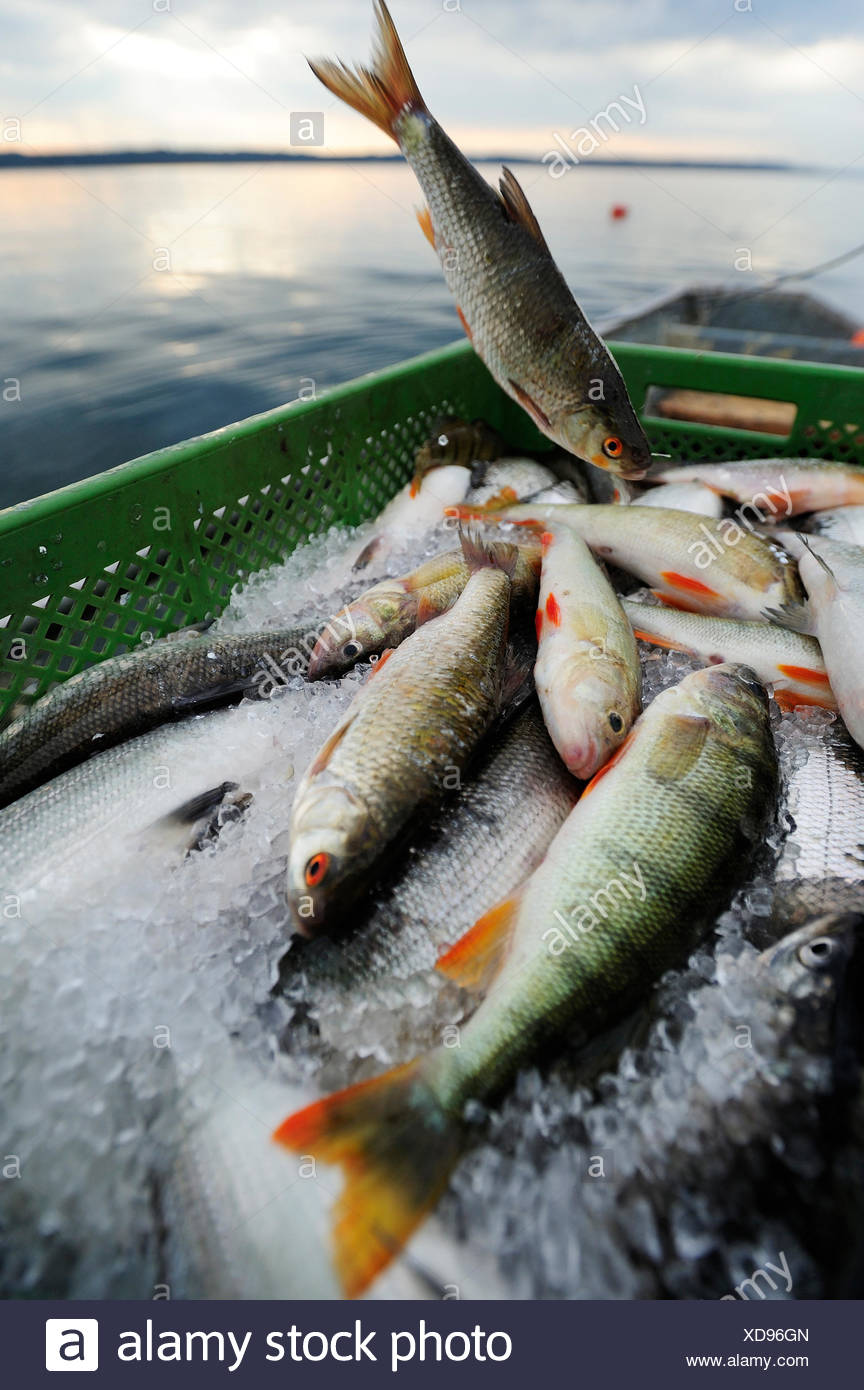 Recently caught perches from Lake Starnberg, Fuenfseenland area, Upper Bavaria, Bavaria - Stock Image