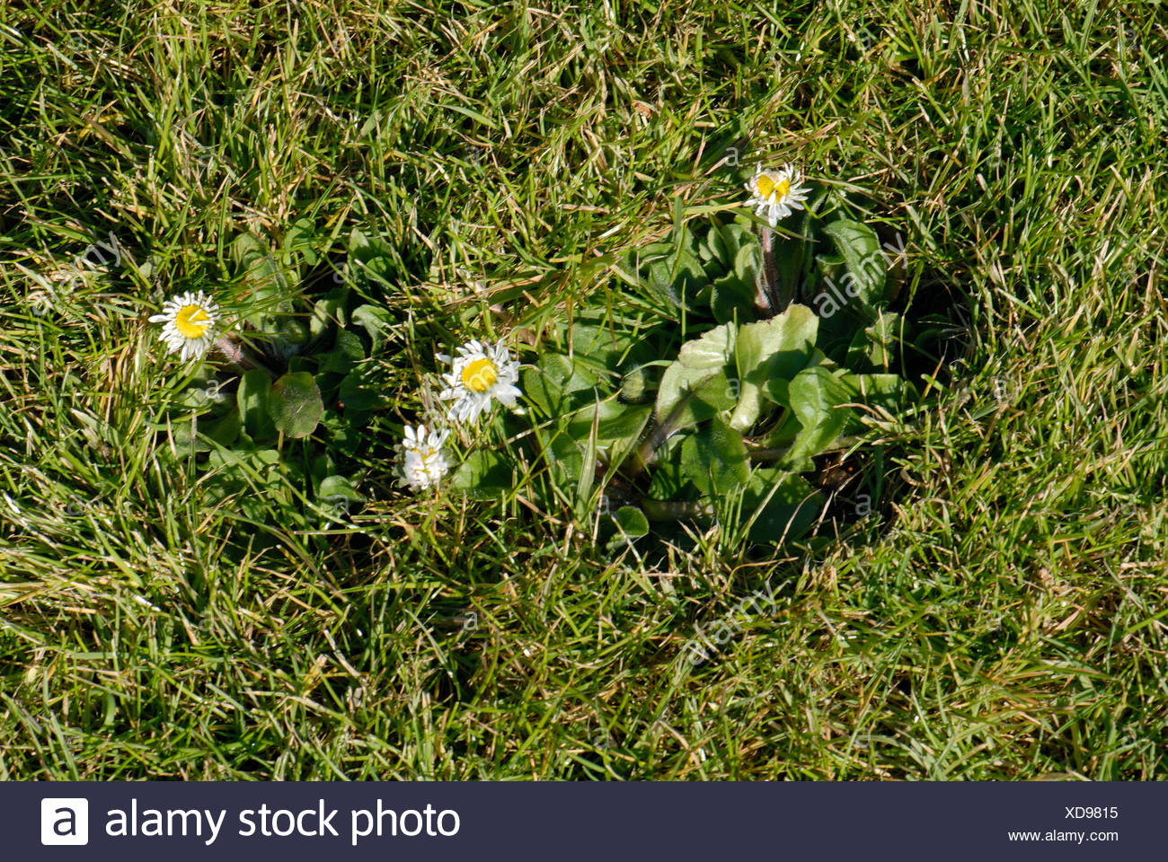 Flowering daisy Bellis perennis in a garden lawn - Stock Image