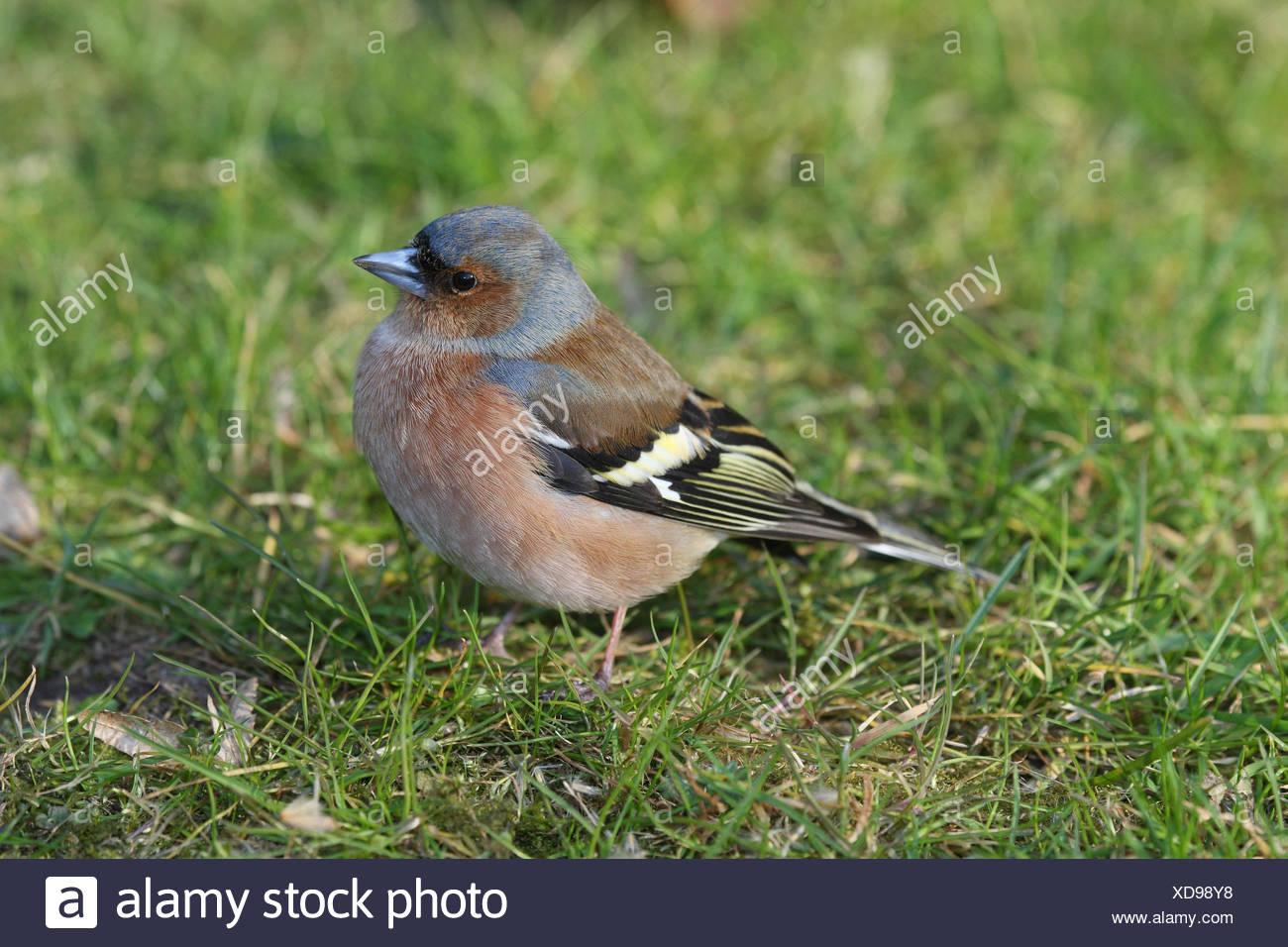 Chaffinch, Fringilla coelebs, grass, sit, - Stock Image