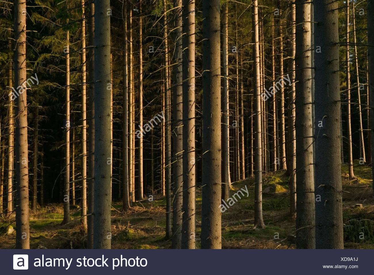 Spruceforest Sweden. Stock Photo