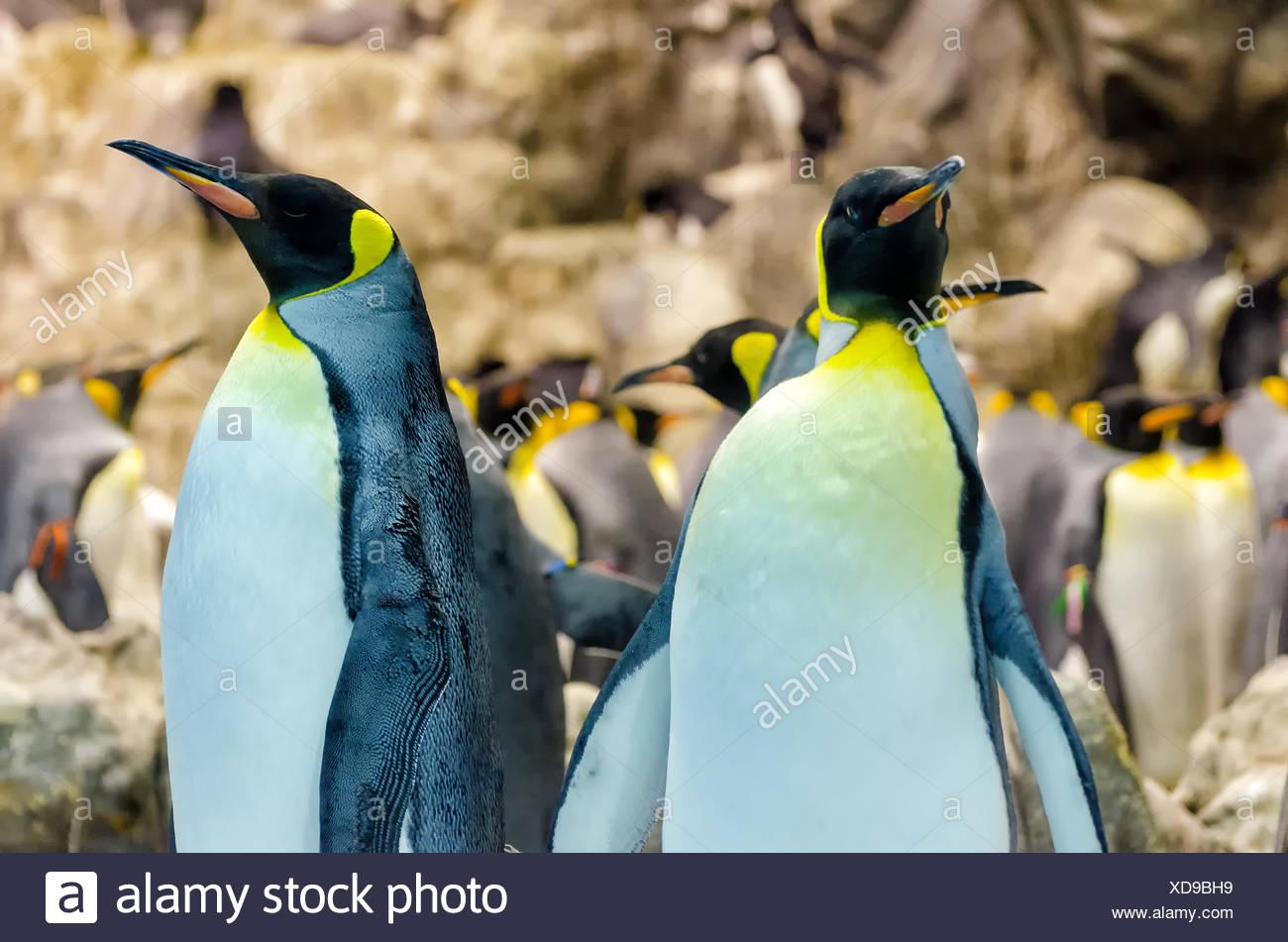 king penguins - Stock Image
