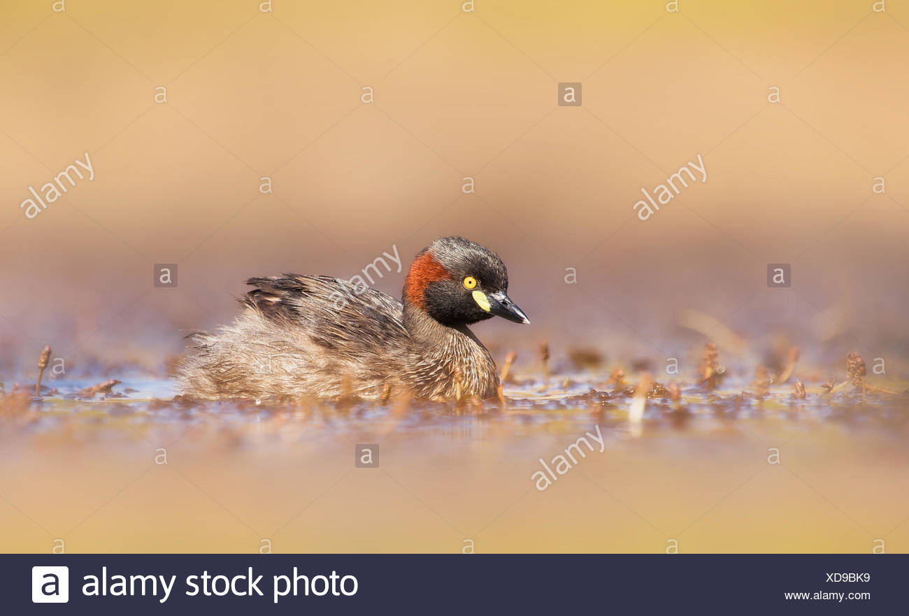 Australia, Australasian grebe swimming in wetland - Stock Image