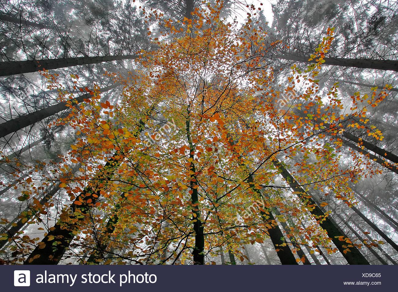 Jonge beuk in hersftkleuren in naaldbos; beech in autumn colours in coniferous forest - Stock Image