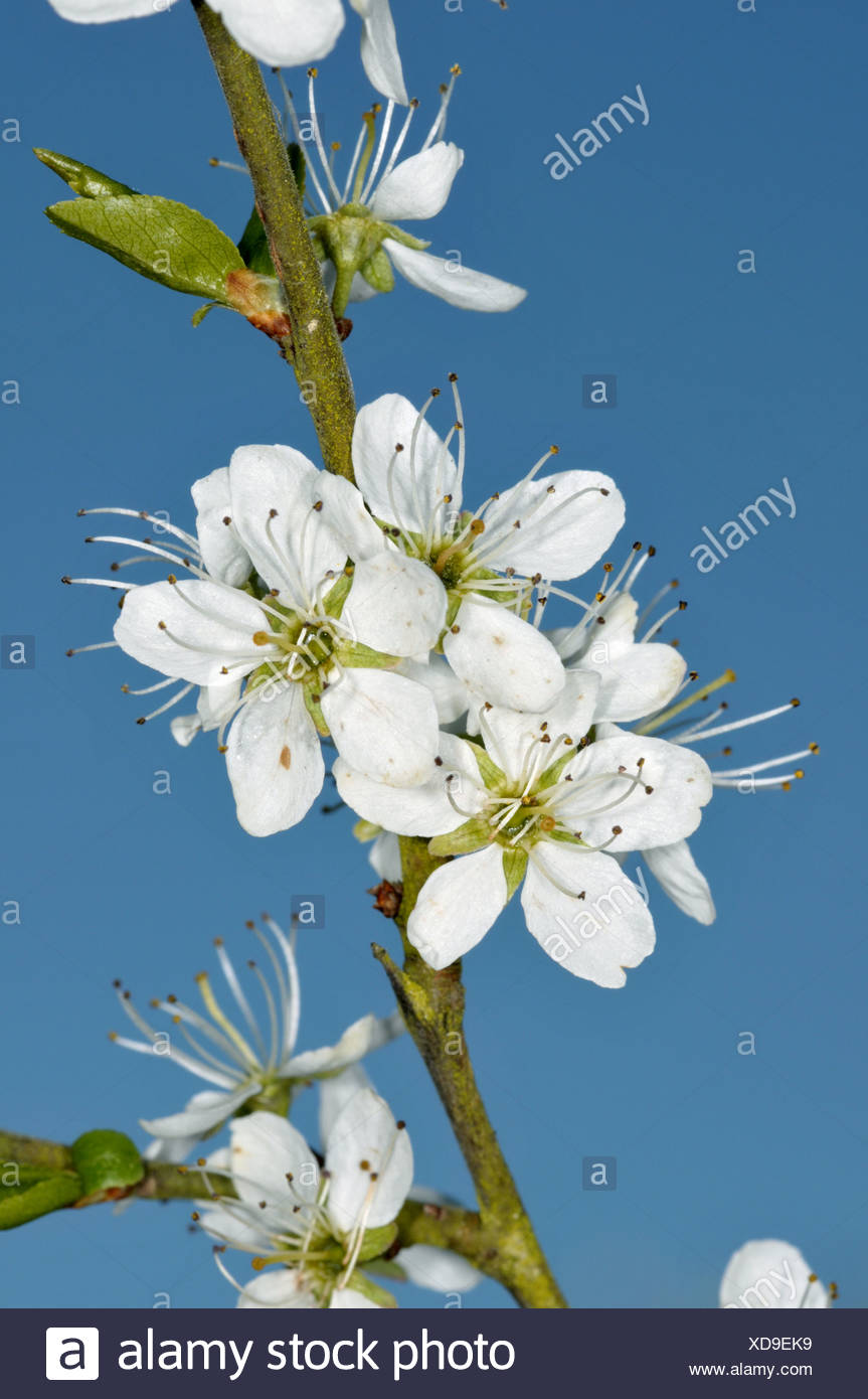 BLACKTHORN Prunus spinosa (Rosaceae) - Stock Image