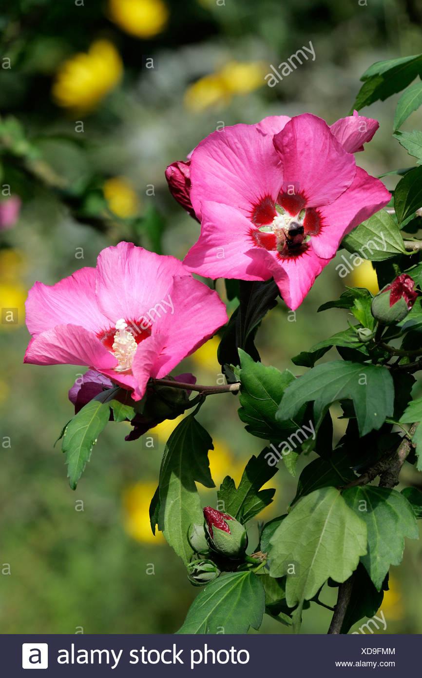 Blooming hibiscus shrub (Hibiscus syriacus) Stock Photo