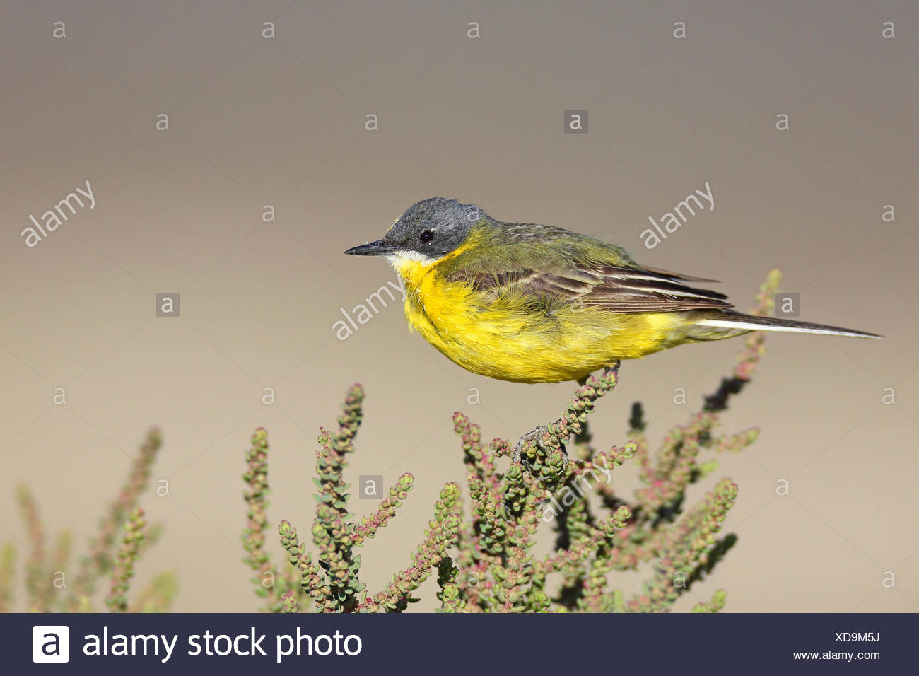 Ashy-headed Wagtail, Yellow wagtail (Motacilla flava cinereocapilla), male sitting on a succulent shrub, France, Camargue - Stock Image