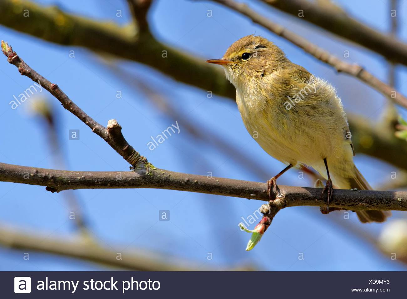 chiffchaff in a tree - Stock Image
