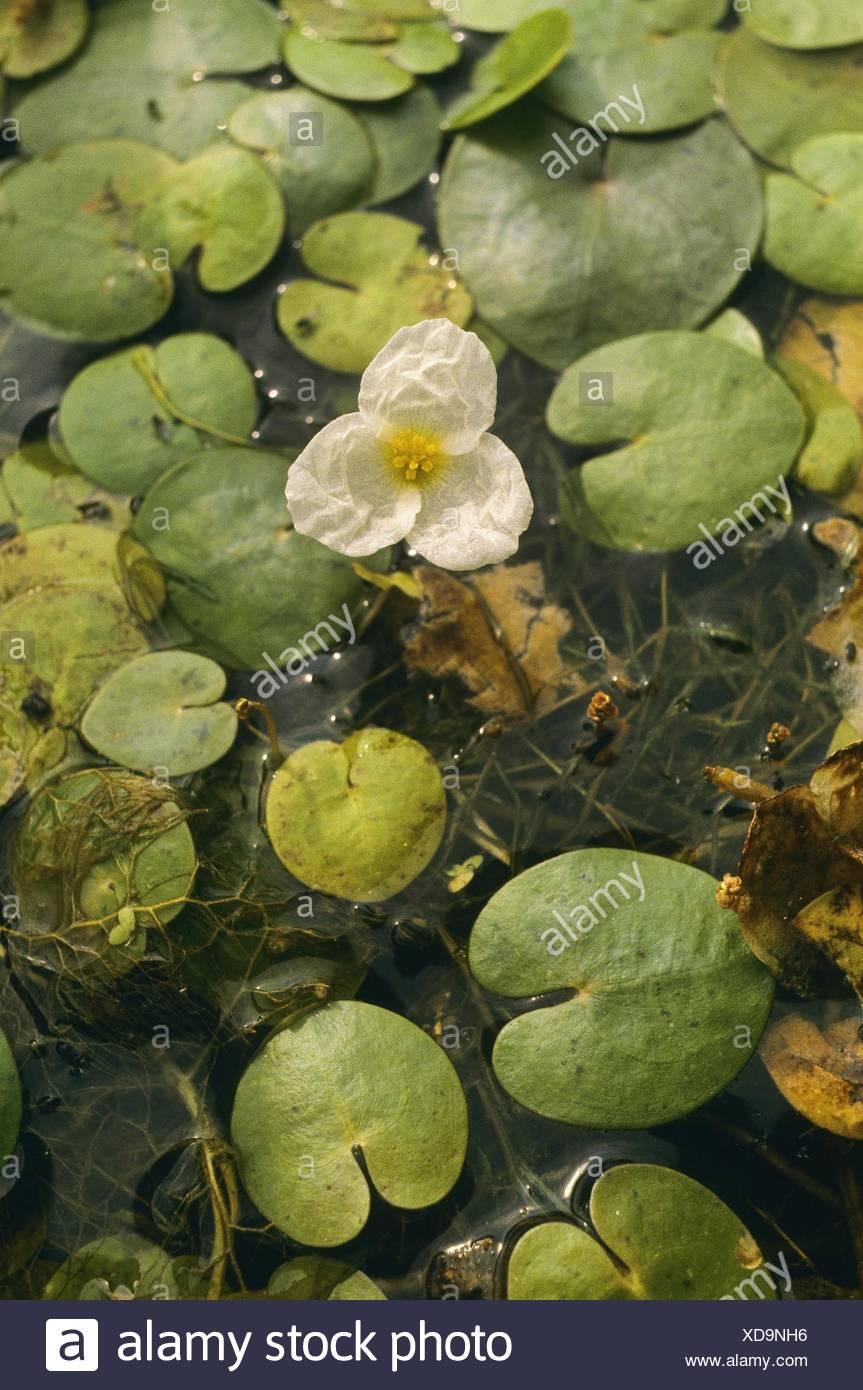 Frogbit Hydrocharis morsus-ranae 2 specimens hardy floating plant